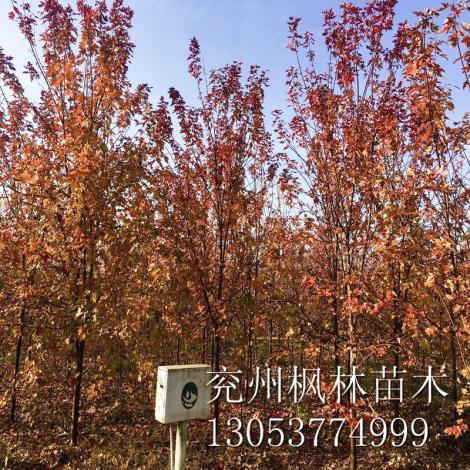 山东美国红枫10