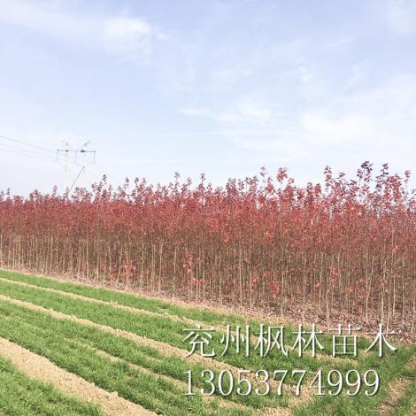 美国红枫10