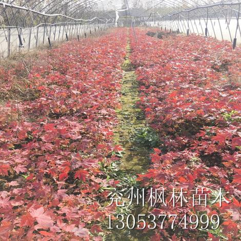 山东美国红枫11