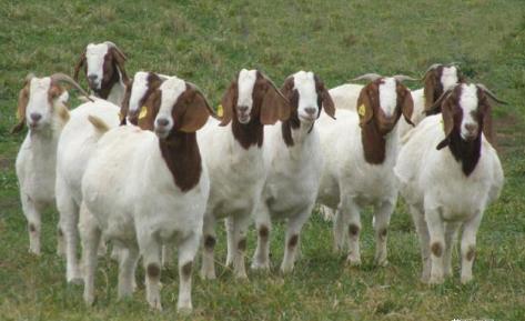 精品波爾山羊
