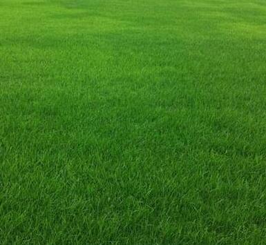 混播草坪句容市茅山风景区诚诚苗木草坪种植基地