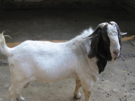 波爾山羊養殖