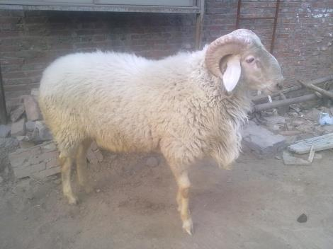 內蒙小尾寒羊養殖場