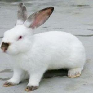 伊拉兔養殖