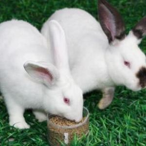 伊拉兔種苗