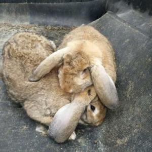 公羊兔养殖