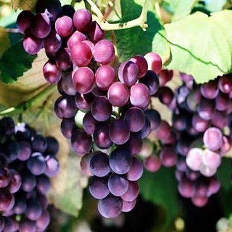 玫瑰香葡萄