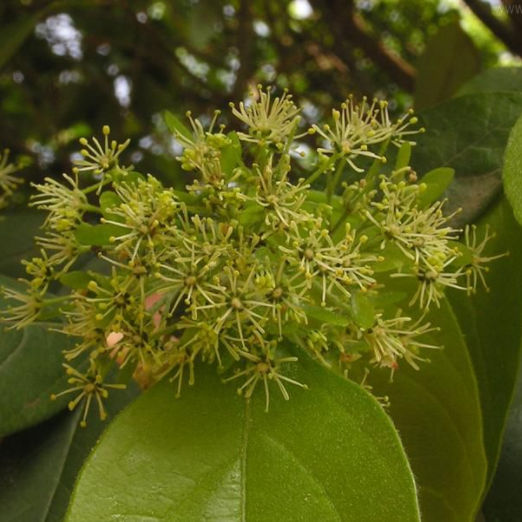 专业樟叶槭