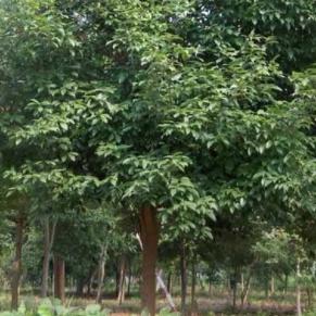 樟叶槭供应