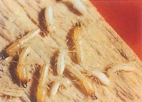句容白蟻消殺