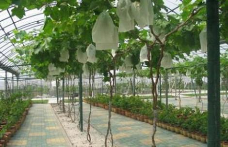 葡萄产业基地