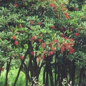 珊瑚朴树批发