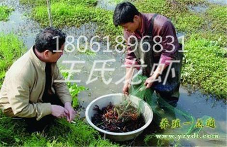 湖南龙虾苗养殖基地
