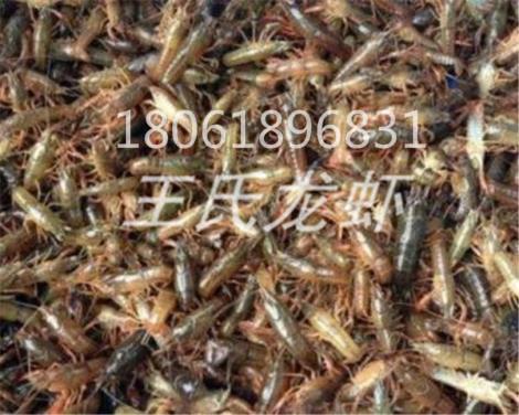 陕西龙虾苗多少钱一斤