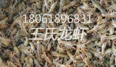 贵州龙虾苗批发