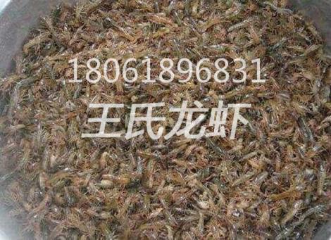 北京龙虾苗批发