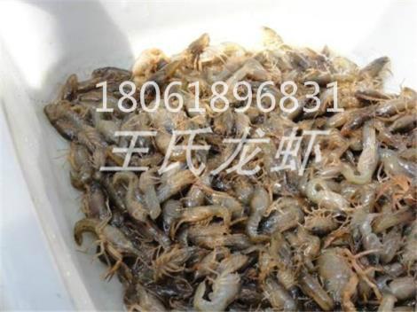 云南龙虾苗多少钱一斤
