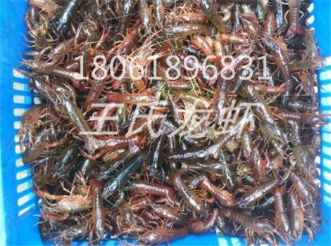 青海龙虾苗多少钱一斤