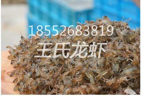 龙虾苗求购