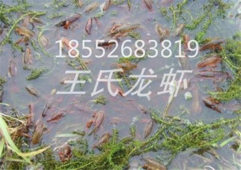 甘肃龙虾苗养殖基地