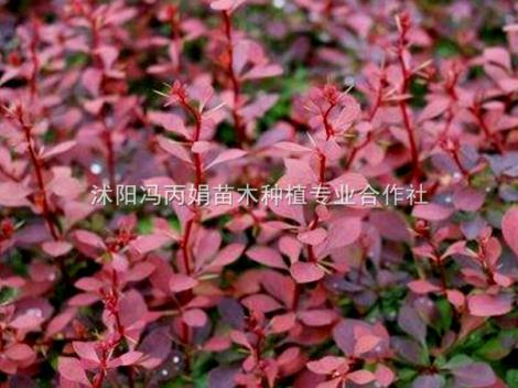 红叶小波种植