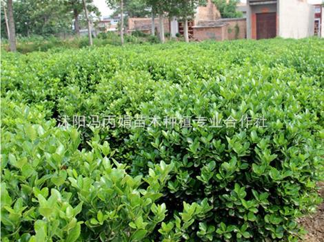 大叶黄杨种植基地