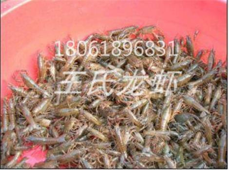 湖南龙虾苗多少钱一斤