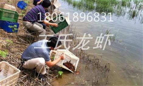 贵州龙虾苗养殖基地