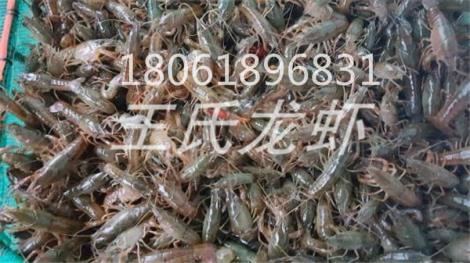 贵州龙虾苗多少钱一斤