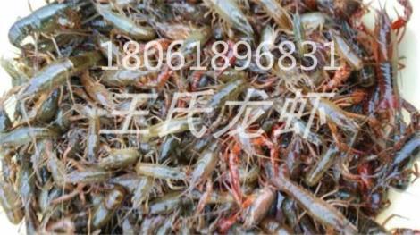 海南龙虾苗批发