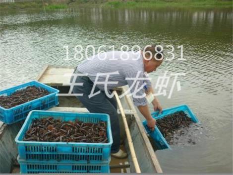 云南龙虾苗养殖基地