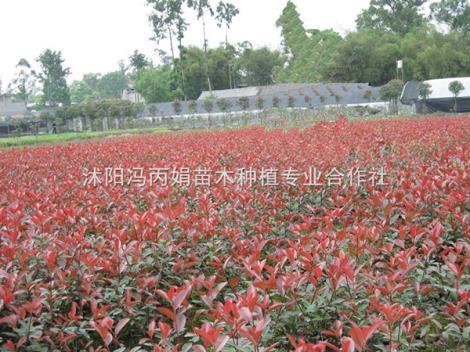 红叶石楠种植基地
