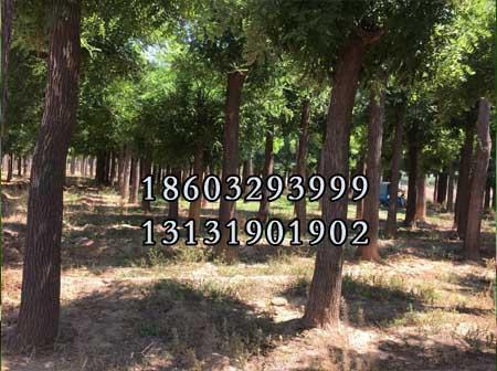 国槐8公分-14公分种植