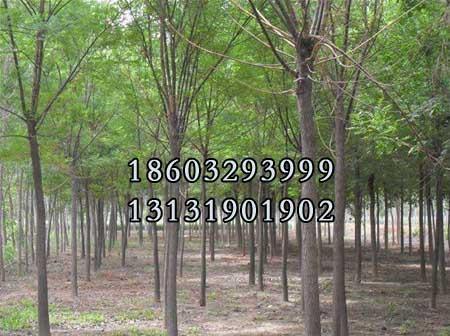 国槐15公分-21公分种植