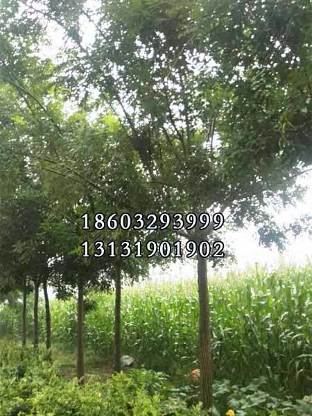 国槐43公分-50公分种植