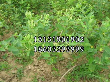 金银花1年苗种植