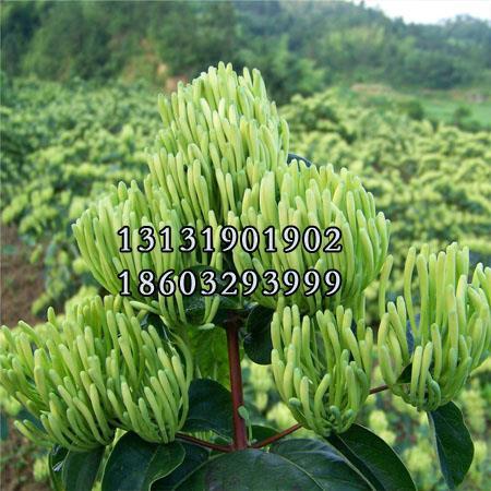 金银花2年苗种植