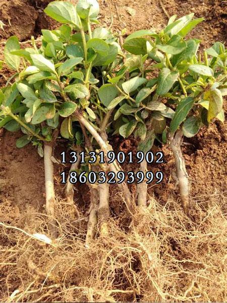 金银花苗6公分种植