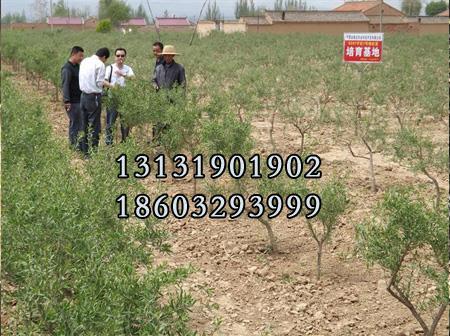 黑枸杞苗6公分种植