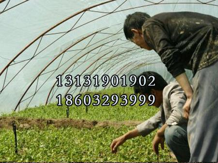 红枸杞苗3公分