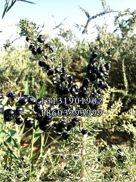 黑枸杞1年树苗