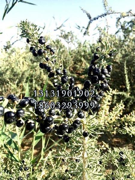 黑枸杞树苗7公分供货商