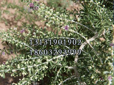 黑枸杞树苗7公分种植