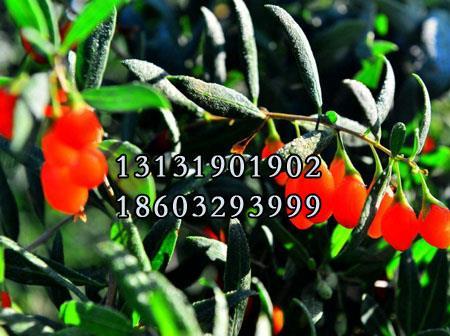 红枸杞树苗3公分供货商