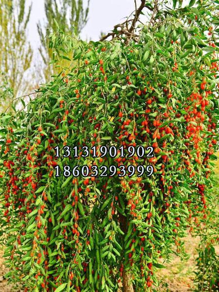 红枸杞树苗3公分种苗