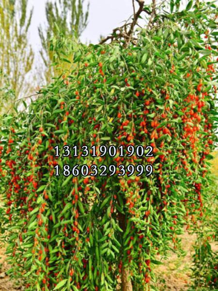 红枸杞树苗4公分供货商