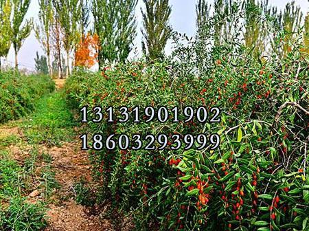 红枸杞树苗5公分供货商