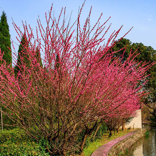 梅花树种植基地