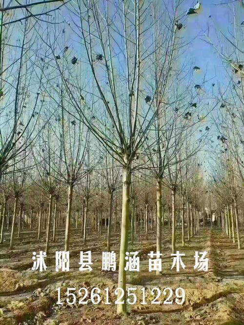 法桐苗木基地