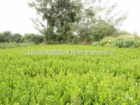黄杨树苗销售